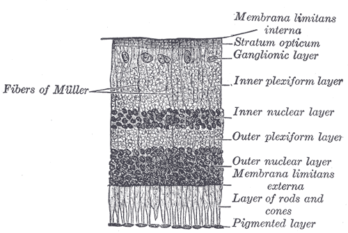 Layers of the Retina, from Gray's Anatomy